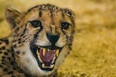 Peligroso mirada del guepardo enojado que muestra sus dientes fotografía de archivo