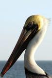Het portret van de pelikaan stock afbeelding