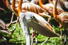 Pelikaan die in de zon met een groep flamingo's rusten Royalty-vrije Stock Afbeelding