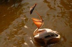 Pelikaan die een vis vangt Stock Foto's