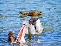 Pelikaan die een wilde eend in het water aanvalt Stock Foto