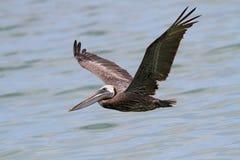 Pelikaan die laag over de Golf vliegen stock fotografie