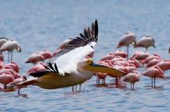 Pelikaan die laag over het meer vliegen Meer Nakuru kenia afrika Stock Afbeeldingen