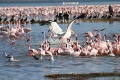 Pelikaan die onder Flamingo landt royalty-vrije stock foto