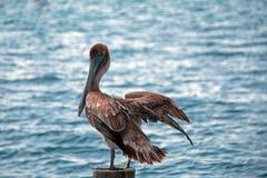 Pelikaan die op bootdok op de post van het bootdok op Isla Mujeres-eiland enkel van de Cancun-kustlijn van Mexico 'aan de lucht d royalty-vrije stock fotografie