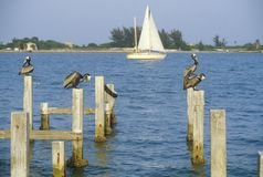 Pelikaan die op dok, Tampa Bay, FL neerstrijken Royalty-vrije Stock Afbeeldingen