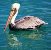Pelikaan die in Tropisch paradijs in Los Cabos Mexico vliegen royalty-vrije stock fotografie
