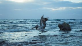 Pelikaan die van Zonsopgang Mexico vliegen stock afbeelding