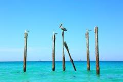 Pelikaan en meeuwen die op logboeken zitten Turkoois water en blauwe hemelachtergrond Royalty-vrije Stock Foto