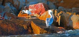 Pelikaan en Witte Aigrette op Pelikan-rots in vroeg ochtendzonlicht in Cabo San Lucas Baja Mexico Royalty-vrije Stock Foto's