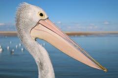 Pelikaan Hoofd dichte omhooggaand bij de ingang op de centrale kust van Nieuw Zuid-Wales stock fotografie