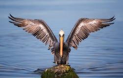 Pelikaan met uitgespreide vleugels Royalty-vrije Stock Foto's