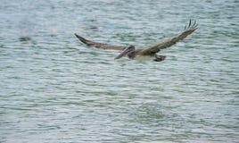Pelikaan met uitgespreide vleugels Royalty-vrije Stock Fotografie