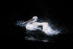 Pelikaan in oceaan Royalty-vrije Stock Afbeeldingen