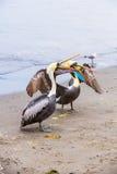 Pelikaan op Ballestas-Eilanden, Peru Zuid-Amerika in het Nationale park van Paracas Flora en fauna Royalty-vrije Stock Fotografie