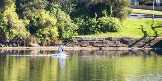 Pelikaan op de rivier Stock Afbeeldingen