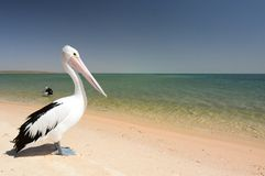 Pelikaan op het strand Aap Mia Haaibaai Westelijk Australië royalty-vrije stock afbeeldingen