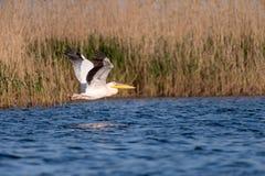 Pelikaan op meer van in de Delta van Donau, het wild van Roemeni? vogelwaarneming stock foto's