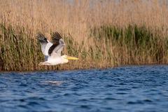 Pelikaan op meer van in de Delta van Donau, het wild van Roemeni? vogelwaarneming stock afbeeldingen
