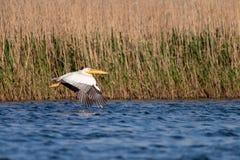 Pelikaan op meer van in de Delta van Donau, het wild van Roemeni? vogelwaarneming stock fotografie