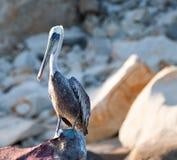 Pelikaan op Pelikan-Rots in Cabo San Lucas Baja Mexico wordt neergestreken dat Stock Foto