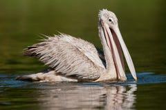 Pelikaan op water Zuid-Afrika stock foto