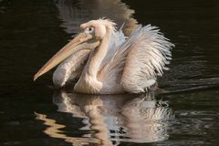 Pelikaan, Pelecanus-onocrotalus, grote vogel stock foto