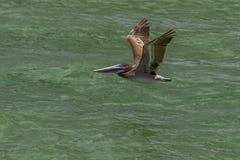 Pelikaan tijdens de vlucht bij Duidelijk waterstrand Florida stock fotografie