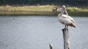 Pelikaanvogel stock foto