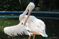 Pelikaanvogel Royalty-vrije Stock Afbeelding