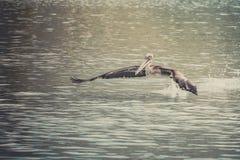 Pelikaanvogel Royalty-vrije Stock Foto