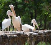 Pelikaanvogels Royalty-vrije Stock Afbeelding