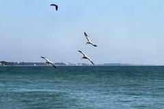 Pelikaanvogels die over de Atlantische Oceaan vliegen stock fotografie