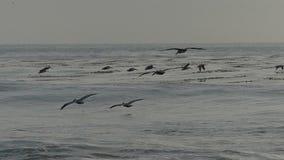 Pelikaanvogels die over de Oceaan in Langzame Motie vliegen stock footage