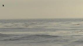 Pelikaanvogels die over de Oceaan in Langzame Motie vliegen stock videobeelden