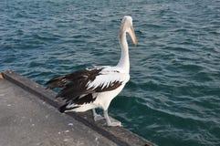 Pelikanów seagulls lub frajery zdjęcie stock