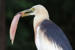 Pelikanów łowić Zdjęcia Royalty Free