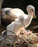 Pelikanów kumpel Fotografia Stock