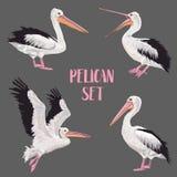Pelikanów ptaki Ustawiający Zwierzęta w dzikim Przyrod Seabirds Akwarela Waterbird Zdjęcie Royalty Free