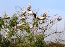 Pelikanów siedzieć zdjęcia royalty free