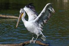 pelikanów skrzydła Zdjęcie Royalty Free