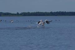 Pelikanów Wodni ptaki 2 zdjęcie stock