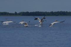 Pelikanów Wodni ptaki fotografia royalty free