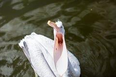 Pelikan öppnade dess näbb och tiggeri för mat från turister Royaltyfria Foton