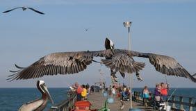 Pelikan över pir Royaltyfri Bild