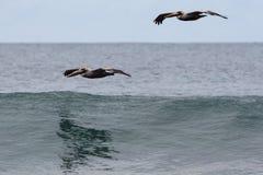 Pelikan über Ozean lizenzfreie stockfotografie