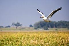Pelikan über Sumpf Stockbild