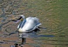 Pelikan задвижки рыба Стоковые Изображения