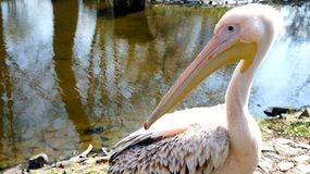 Pelikan смотрит назад Стоковые Фото