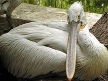 Pelikan Royaltyfria Bilder